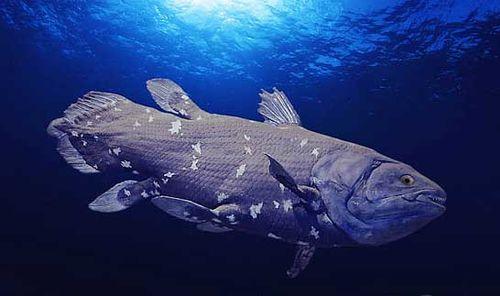Coelacanth。被稱為「活化石」的腔棘魚,仍活在深海裡。